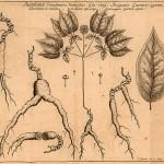 American Ginseng Root (Panax Quinquefolius)