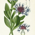 Cornflower (Centaurea Cyanus)