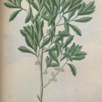 Bayberry Root (Myrica Cerifera)