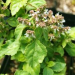 Patchouli Leaf (Pogostemon cablin)