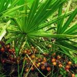 Saw Palmetto (Serenoa Repens)