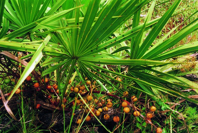 Palmetto berry