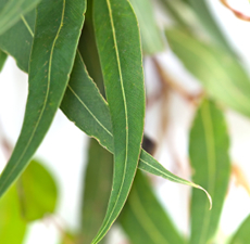 Eucalyptus Essential Oil by Maison Terre Natural Products