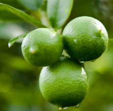 Maison Terre Natural Products Lime Essential Oil
